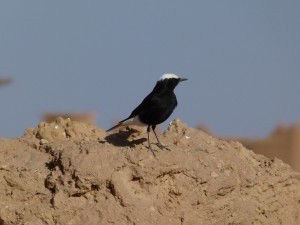 Berber Treasures Morocco tours of Morocco - Morocco's Desert Birds
